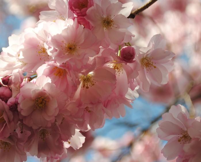 3 körsbärsträd kungsträdgården 20 april 2016